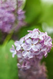 lilac Imagens de Stock