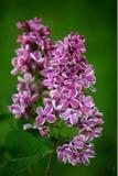 lilac Imagem de Stock
