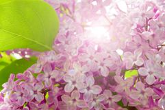 Lilac Royalty Free Stock Images