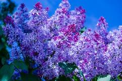 lilac imagens de stock royalty free