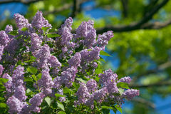 Lilac. Purple lilac flowers on blurred tree in background stock images