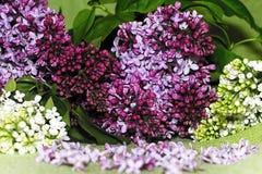 lilac Fotos de Stock Royalty Free