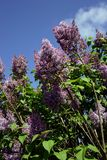 Lilac. And sky Stock Photo