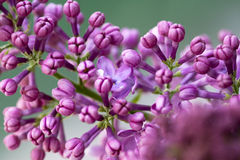 Lilac. Nice purple lilac in the garden Stock Image