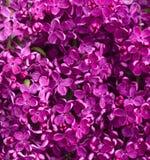 Lilac achtergrond van bloemen Stock Foto