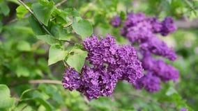 Lilac Achtergrond van Bloemen stock footage