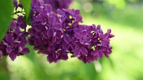 Lilac Achtergrond van Bloemen stock videobeelden