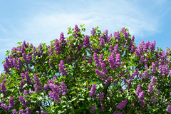 Lilac against blue sky with clouds Royalty Free Stock Images
