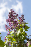 The Lilac against the blue sky Royalty Free Stock Images