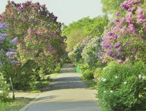 Lilac alley in the botanical garden Stock Image