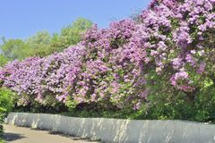 Lilac alley in the botanical garden Royalty Free Stock Photography