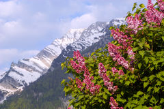 Lilac in alps - austria Royalty Free Stock Photos