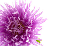 Lilac aster Royalty Free Stock Images