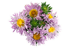 Lilac aster flower isolated Royalty Free Stock Images