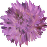 Lilac aster flower isolated on white Stock Photography
