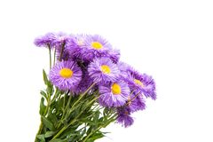 Lilac Aster Isolated Royalty Free Stock Photo