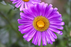 Lilac aster  after rain Stock Photos