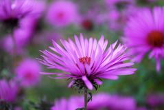 Autumn asters. Lilac asters flowering in autumn Royalty Free Stock Photo