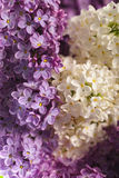 Lilac background royalty free stock photo