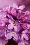 Lilac background Stock Photo