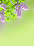 Lilac background Stock Photos