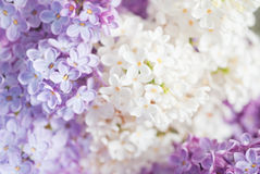 Lilac background Stock Photography