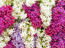 Lilac background Royalty Free Stock Images