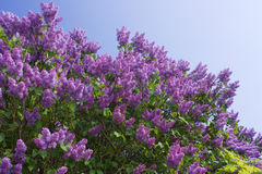 Lilac on background of blue skies Royalty Free Stock Photo