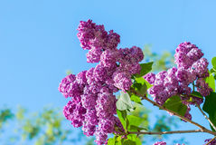 Lilac on a background of blue skies Stock Photos