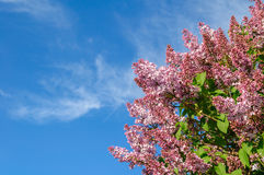 Lilac on a background of blue sky Royalty Free Stock Images