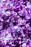 Lilac Background Stock Image