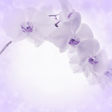 Lilac background with orchid flowers Royalty Free Stock Photo