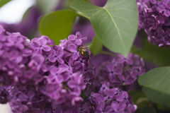 Lilac. Beautiful lilac with bee close up Stock Photo