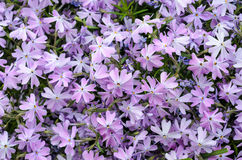 Lilac bedding plant. Emerald blue lilac bedding plant in flower Royalty Free Stock Photography