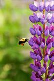 Lilac and bee Royalty Free Stock Photography