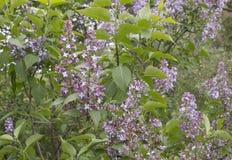 Lilac bloei royalty-vrije stock fotografie