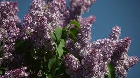 Lilac bloei tegen de blauwe hemel stock footage