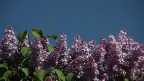 Lilac bloei tegen de blauwe hemel voor een inschrijving stock videobeelden