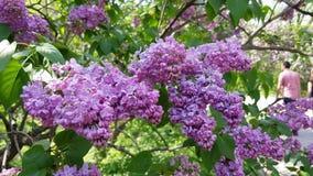 Lilac bloeiende struik stock footage
