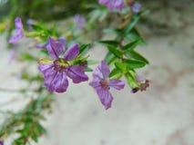 Lilac bloem Royalty-vrije Stock Fotografie