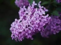 Lilac bloem royalty-vrije stock foto