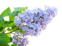 Lilac bloem Royalty-vrije Stock Afbeeldingen
