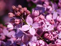 Lilac bloem Stock Fotografie