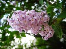 Lilac Bloem Royalty-vrije Stock Afbeelding