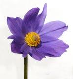 Lilac bloem Stock Foto