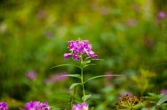 Lilac bloem in de groene doos Stock Afbeelding
