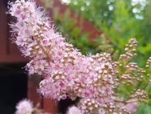 Lilac bloem ` die s in de recente lente bloeien stock afbeelding