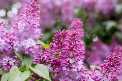 Lilac bloem Met bokehachtergrond Royalty-vrije Stock Afbeeldingen