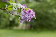 Lilac bloem Met bokehachtergrond Royalty-vrije Stock Fotografie