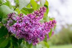 Lilac bloem Met bokehachtergrond Royalty-vrije Stock Foto
